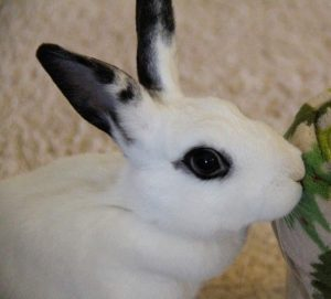 Pippin the Rabbit